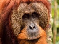 Orang Outans - Sumatra, Indonésie